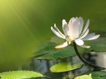 white-lotus-flower-exposed-to-sunlight-wallpaper-1024x576